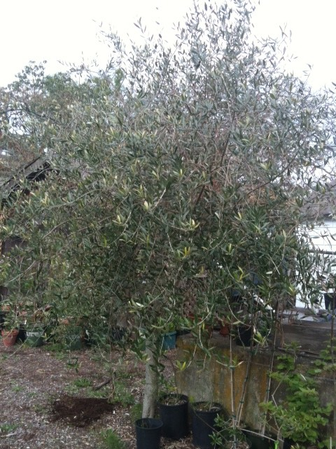 Saturna olive consortium pender island s waterlea olive for Pruning olive trees in pots