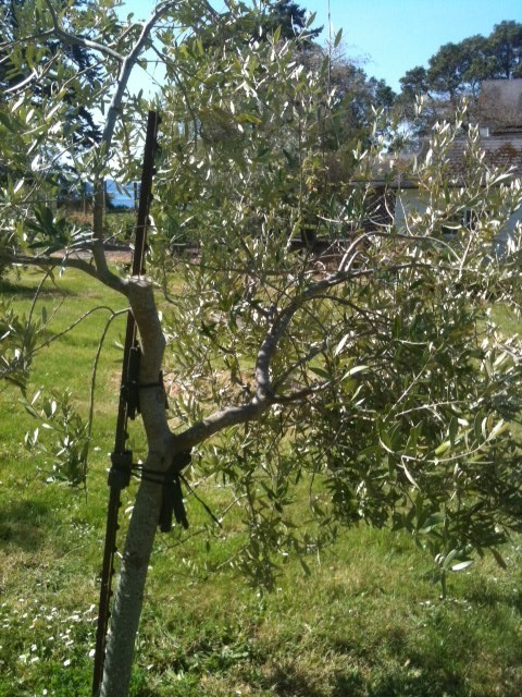 Saturna olive consortium blog archive pruning waterlea3 for Pruning olive trees in pots
