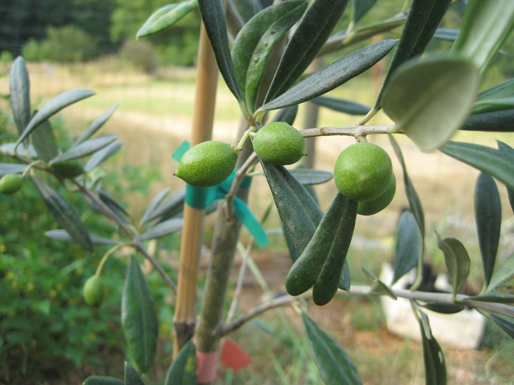 Nocellara olives on a 5 gallon tree in early July