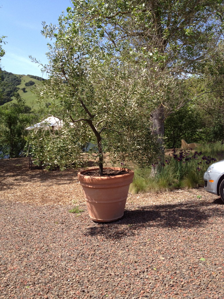 saturna olive consortium olive trees in pots
