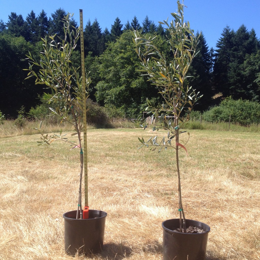 olive tree planting instructions